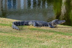ANOTHER OF VIEW OF ALLIGATOR ON GOLF COURSE