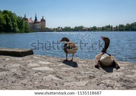 Anser anser species of large goose, big bird called greylag goose relaxing with birds friends in front of romantic castle Moritzburg in Germany Europe #1135118687