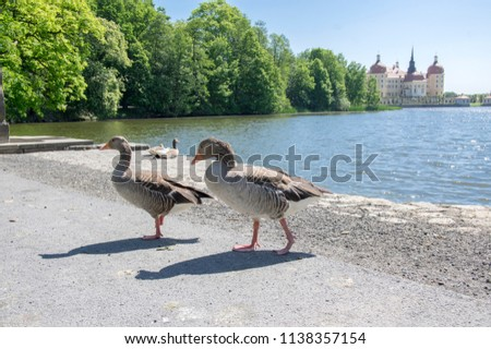 Anser anser species of large goose, big bird called greylag goose relaxing with birds friends in front of romantic castle Moritzburg in Germany Europe #1138357154