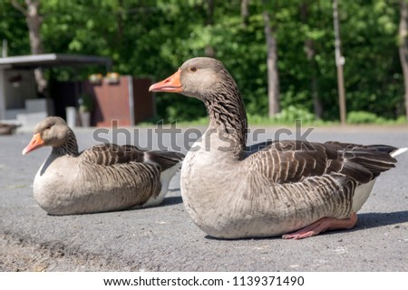 Anser anser species of large goose, big bird called greylag goose relaxing with birds friends on the street #1139371490