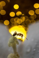 Ant close-up. Silhouette of an ant on the background of the sun. Macro photo. Sunset. Sun at sunset. Ant on the pistil of a flower. The structure of the body of the insect. Long mustache. Sunset bokeh