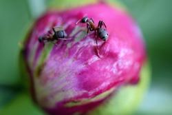 ant closeup on pink peony bud