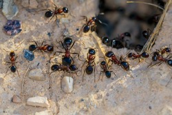 Ant Family. Ants. Macro photo. Mink in the ground. Ants are working. Production. Ants at the entrance to the termite mound. The texture of clay and small stones.