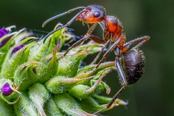 ant formica rufa on green plant