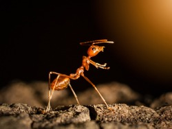 Ant insect concept, ant walking on tree in nature on black dark background, it is teamwork symbol of insect animal. it show fighting action on branch tree