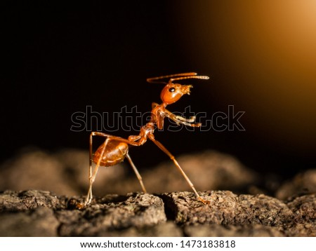 Ant insect concept, ant walking on tree in nature on black dark background, it is teamwork symbol of insect animal. it show fighting action on branch tree #1473183818