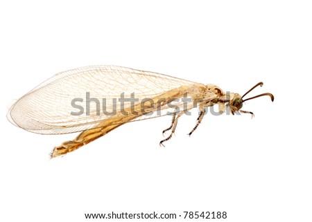 ant lion,myrmeleontidae, isolated on white background
