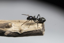 Ant Mimicking Jumping Spider on a tree branch