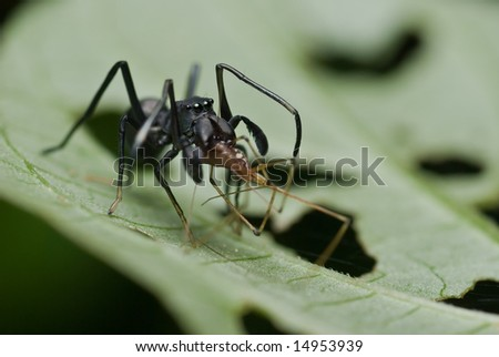 Ant-mimicking spider with prey - a harvestman
