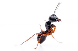 Ant on a white background