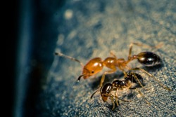 Ant Queen and pioneer
