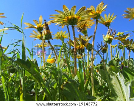 Ant's view of a field of yellow daisy flowers, Namaqualand, South Africa