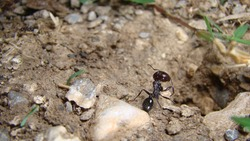 ant soldier ant ants are working house of ants ants in their natural habitat.  ants at the entrance to the ant mound. soil texture. clods of land, sand, small stones macro photo.  insects, insect, bug