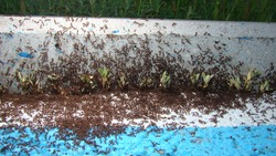 Ant War between two colonies of pavement ants. Battle of ants. ants war in the road. ant war. Ants on the way | insects in the city. insects, insect, bugs, bug, animals, animal, wild nature, wildlife