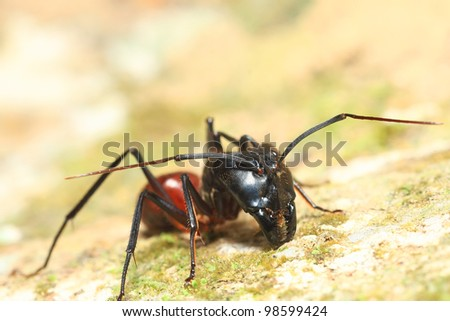 ant warrior in macro view