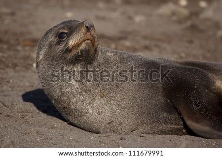 Antarctic fur seal, Antarctica