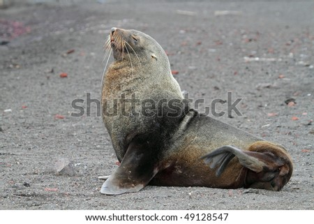Antarctic fur seal resting on black volcanic beach of Deception Island, South Shetland Islands, Antarctica - stock photo