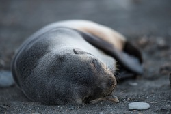 Antarctic fur seal sleeping, South Georgia, Antarctica