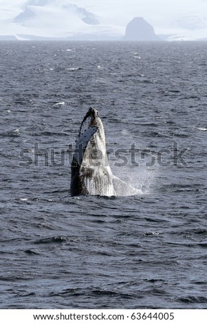 Antarctic humpback whale breaching, South Shetland Islands, Antarctica