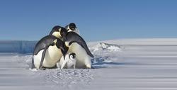 Antarctic Ice and Snow Emperor Penguin
