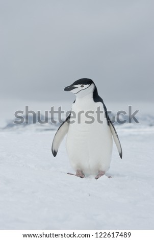 Antarctic penguin winter overcast day.