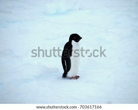 Antarctic Peninsula Antarctic Adelie Penguin