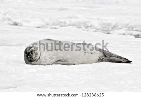 Antarctic Weddell Seal