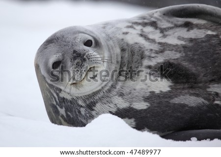 Antarctic weddell seal - southernmost breeding mammal of the world