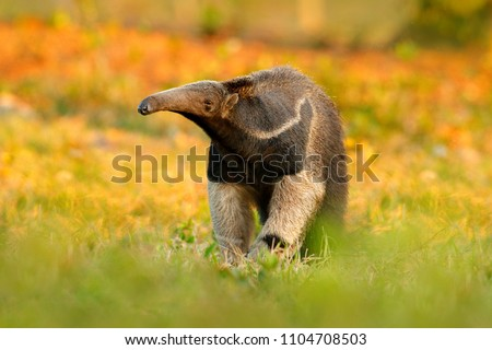Anteater, cute animal from Brazil. Giant Anteater, Myrmecophaga tridactyla, animal with long tail and log muzzle nose, Pantanal, Brazil. Wildlife scene, wild nature gress meadow. Running in pampas.
