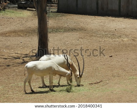 Antelope Addax is an antelope 1 m tall and about 120 kg in weight, with rounded shapes, long legs and a straight profile; However, it does not present the same echinoid characters  Stock fotó ©