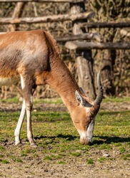 antelope grazing on short young grass, animal zoo