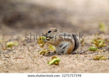Antelope Ground Squirrel (Ammospermophilus), Hidden Valley Campground, Mojave Desert,  Joshua Tree National Park, California, USA