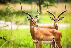 Antelope impala in nature Uganda. Antelop animal portrait