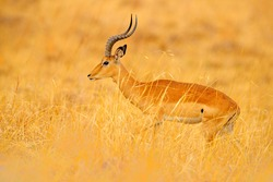 Antelope in the grass savannah, Okavango South Africa. Impala in golden grass. Beautiful impala in the grass with evening sun. Animal in the nature habitat. Sunset in Africa wildlife.