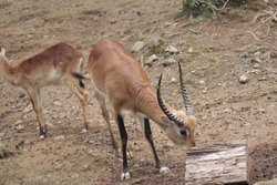 Antelope is a mammal that looks like a goat with horns straight up. This animal looks like a deer but not a deer. It is a type of cow. This animal is a member of the bovidae family and is an endangere