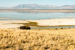 Antelope Island State Park, Bison