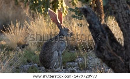 Antelope Jackrabbit in the Arizona Desert Сток-фото ©