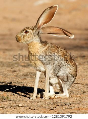 Antelope Jackrabbit (Lepus alleni). It is the largest of the North American hares, Arizona. Сток-фото ©