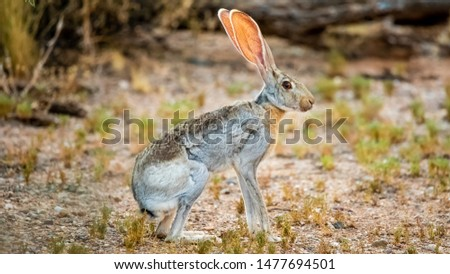 Antelope Jackrabbit - the Biggest of All North American Rabbits (Lepus Alleni) and Hares Сток-фото ©