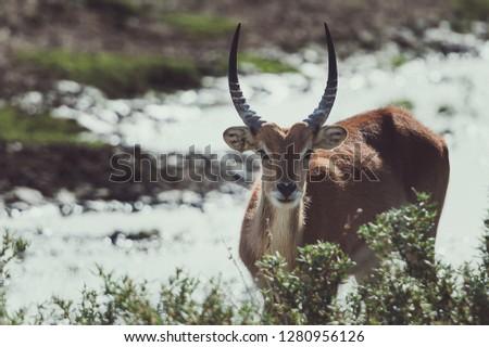 Antelope looking in the savannah #1280956126