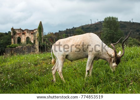 Antelope of twisted horns grazing in a beautiful meadow in front of a ruins #774853519