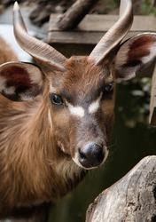 Antelope Sitatunga (Tragelaphus spekii). African Antilope close up. Forest antelope. Zoo animal