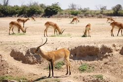Antelope team looking for grass