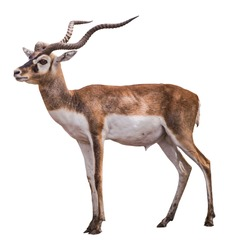 Antelopes isolated on white background