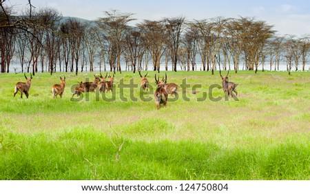 Antelopes, Kenya, Africa