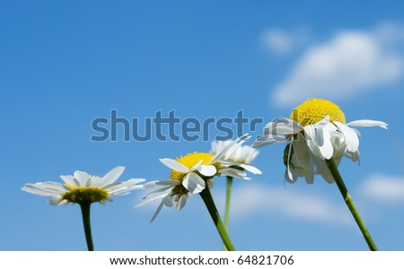 Anthemis nobilis, commonly known as Roman Chamomile, Chamomile, garden camomile, ground apple, low chamomile, English chamomile, or whig plant