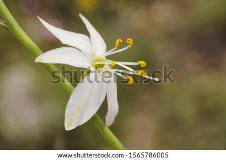 Anthericum liliago St Bernards lily lovely white flower of the family Liliaceae with cerulean-like petals natural light #1565786005