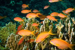 Anthia fish swimming in the Red Sea with coral and blue water colum