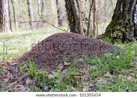 Anthill in the spring pine forest on a sunny day