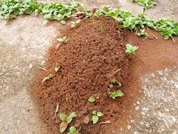 anthill on the street sidewalk